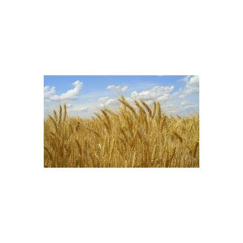 Normal_wheat_raea_flickr_cc