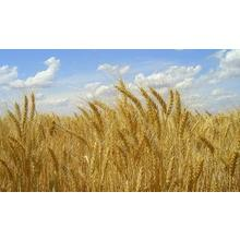 Thumb_wheat_raea_flickr_cc