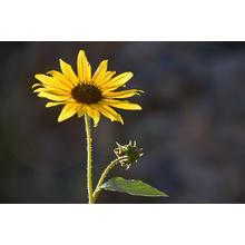 Thumb_sunflower_in_the_sun