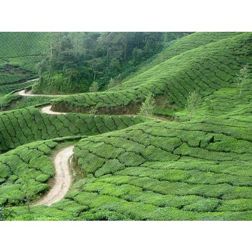 Normal_tea_plantation_in_southern_india_wikimediacc