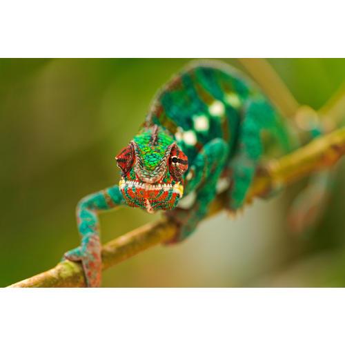 Normal_chameleon