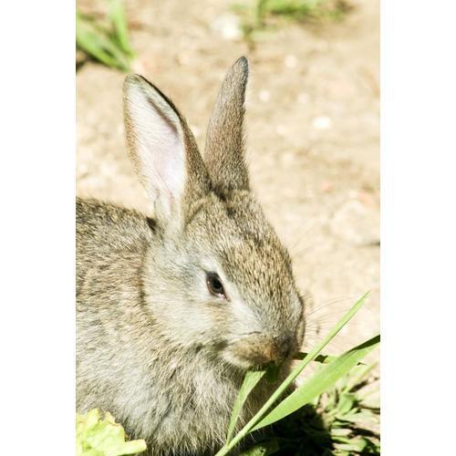 Normal_rabbit-eating-grass