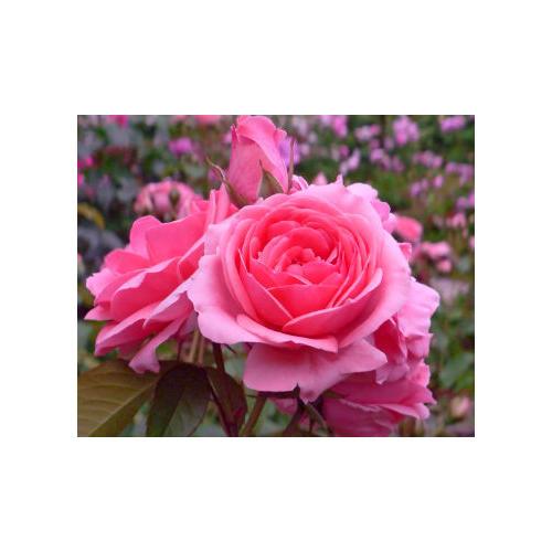 Normal_rose