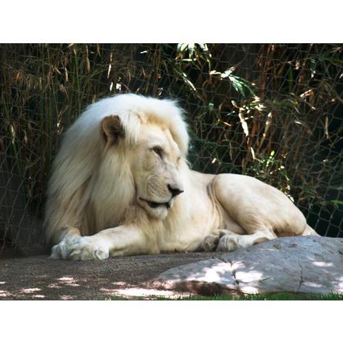 Normal_lion