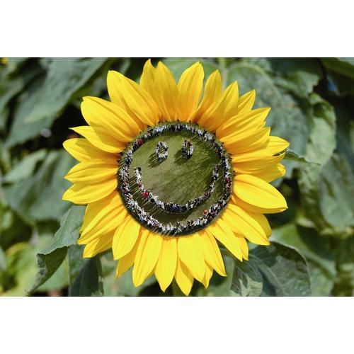 Normal_smiley_sun_flower