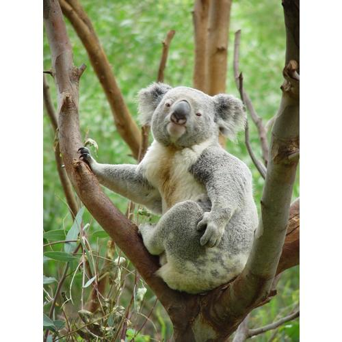 Normal_koala-animal-in-tree_w544_h725