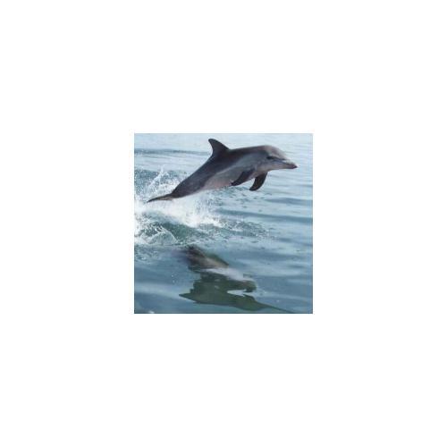Normal_delfin