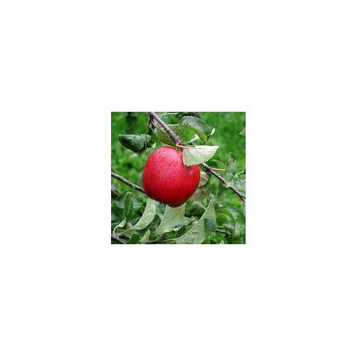 Normal_apple