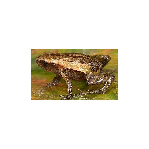 Normal_frog