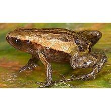 Thumb_frog