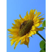 Thumb_sunflower_2007