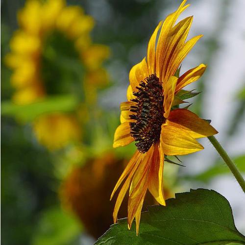 Normal_sun-flower