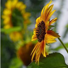 Thumb_sun-flower