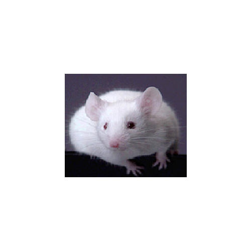 Normal_mouse