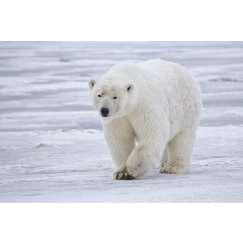 Normal_polar_bear_-_alaska