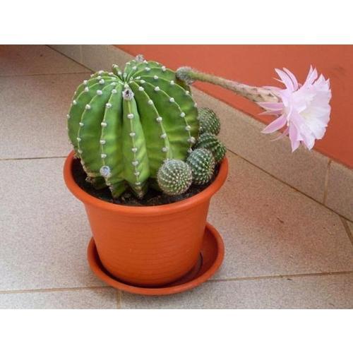 Normal_cactus