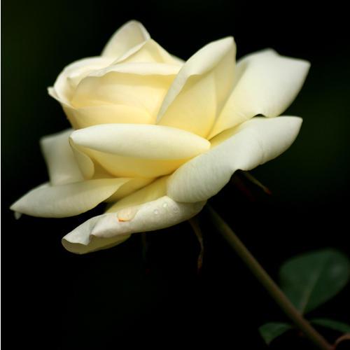 Normal_rose_