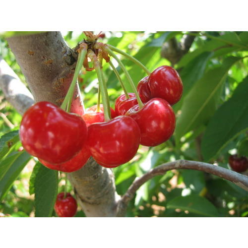 Normal_cherry