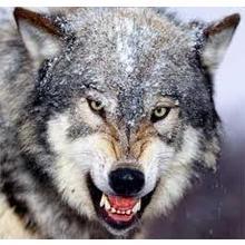 Thumb_wolf