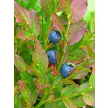 Thumb_blueberry-523012_640