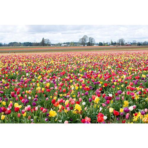 Normal_tulipfarm