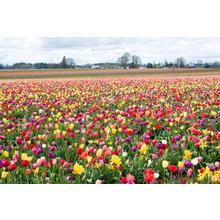 Thumb_tulipfarm