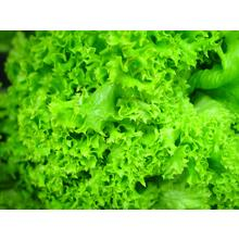 Thumb_hydroponic_lettuce_leaves_green