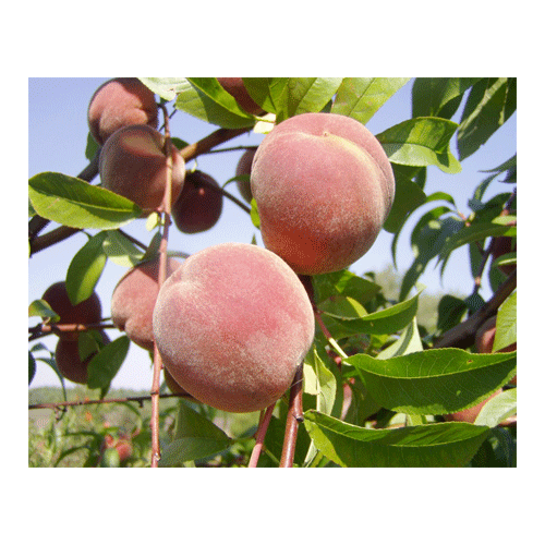 Normal_1393337149_prunus-persica-fruit