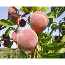 Thumb_1393337149_prunus-persica-fruit