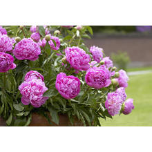 Thumb_peony-paeonia-sp-double-pink-variety-visionspictures